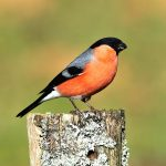 Gimpel - Dompfaff - Northern Bullfinch