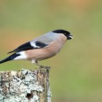 Dompfaff - Northern Bullfinch