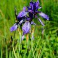 Sibirische Schwertlilie - Siberian Iris