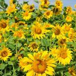 Sonnenblumen - Sunflowers