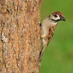 Feldsperling - Tree Sparrow