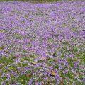 Frühlings-Safran - Crocus