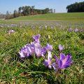 Frühlings-Krokus - Crocus