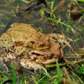 Erdkröte - Common Toad