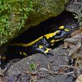 Feuersalamander (Salamandra salamandra) Fire Salamander