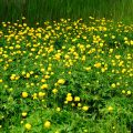 Trollblume - Globe Flower