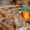 Eisvogel-River Kingfisher