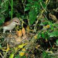 Neuntöter - Red-backed Shrike
