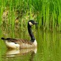 Kanadagans - Canada Goose