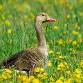 Graugans (Anser anser) Greylag Goose