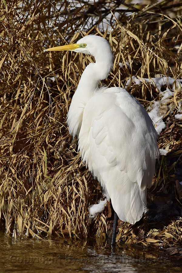 Silberreiher - Great White Egret