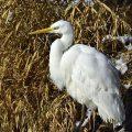 Silberreiher - Great White Egret
