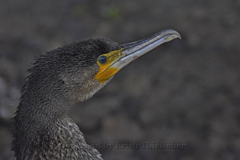 Kormoran (Phalacrocorax carbo) Cormorant