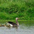 Graugans - Graylag Geese