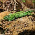Zauneidechse - Sand Lizard