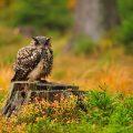 Uhu (Bubo bubo) Eagle Owl