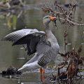 Graugans - Greylag Goose