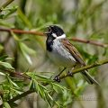 Rohrammer (Emberiza schoeniclus) Reed Bunting