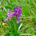 Kleines Knabenkraut (Orchis morio) Green-winged Orchid