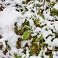 Frühlings-Nabelnüsschen (Omphalodes verna)