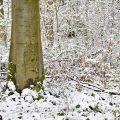 Rotbuche (Fagus sylvatica) Beech