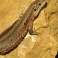 Waldeidechse - Common Lizard