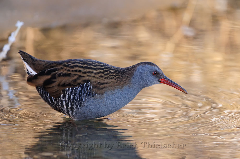 Wasserralle - Water Rail