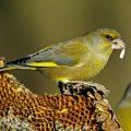Grünfink - Männchen