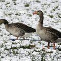 Graugans - Greylag Geese