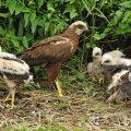 Rohrweihe - Western Marsh Harrier