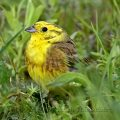 Goldammer (Emberiza citrinella) Yellowhammer
