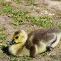 Kanadagans (Branta canadensis) Canada Goose